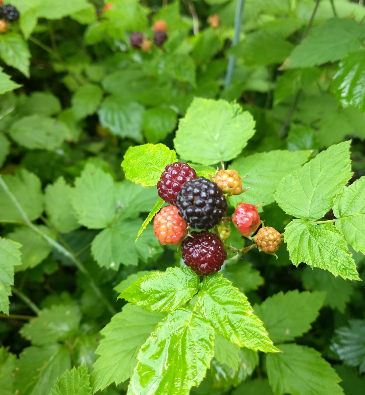 Life in a BerryPatch